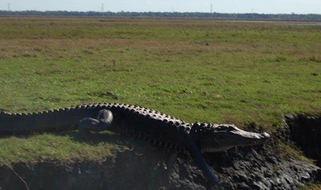 gator web shot